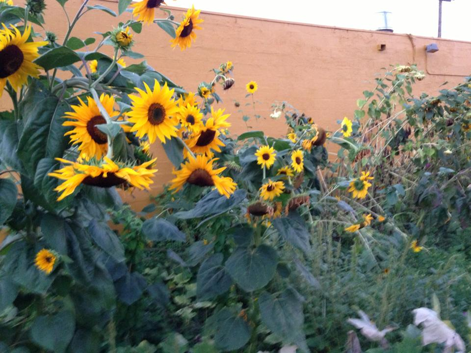 sunflowers in the garden 2013